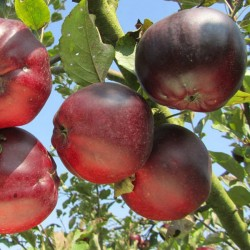 Pommes Calville bio 500g